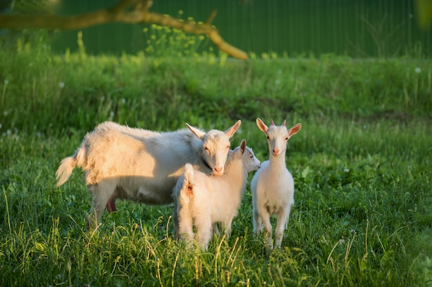 Grupo de cabras con chivos. cabras de la familia local en el patio de casa de pueblo