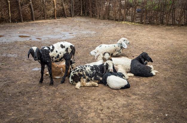Grupo de cabras o ovejas indias en pueblo