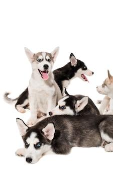 Grupo de cachorros de husky siberiano felices en blanco. cachorros hermosos