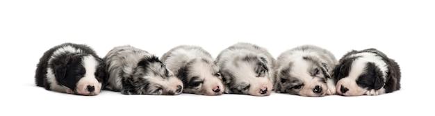Grupo de cachorros mestizos durmiendo en una fila aislado en blanco