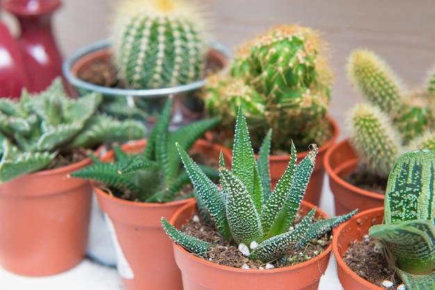 Grupo de cactus y suculentas en macetas pequeñas. cultivo de plantas, tema de las suculentas.