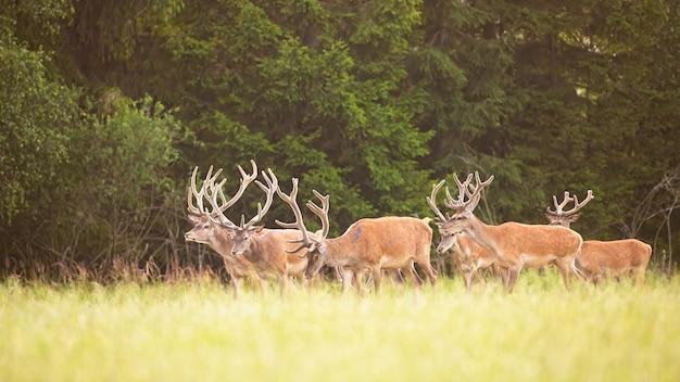 Grupo de ciervos rojos caminando en la naturaleza fresca de temporada desde la vista lateral