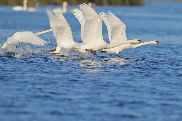 Un grupo de cisnes corriendo sobre el agua para despegar.