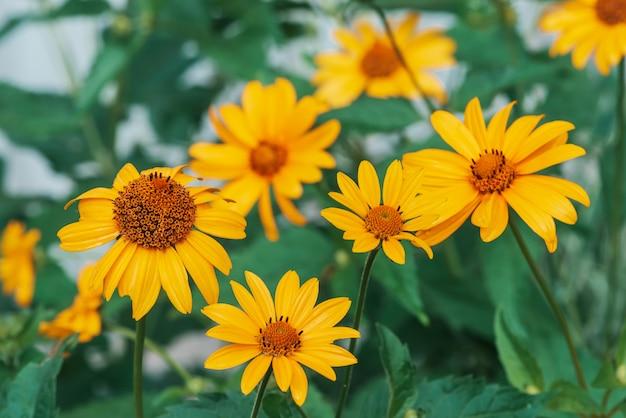 Grupo de coloridas flores amarillas jugosas con centro naranja y vivos pétalos puros agradables.
