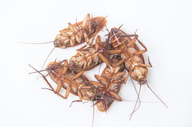 Grupo de cucarachas muertas aisladas sobre fondo blanco