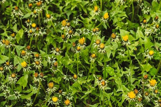 Grupo de dientes de león amarillos sobre césped verde. pequeñas flores hermosas en hierba de cerca.