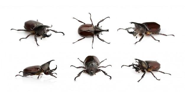 Grupo de dinastinas. insecto. animal. dynastinae es luchador de la montaña desde tailandia.