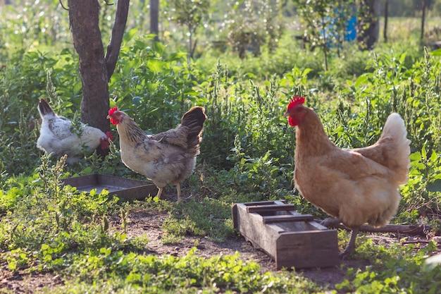 Grupo doméstico de pollos comiendo granos