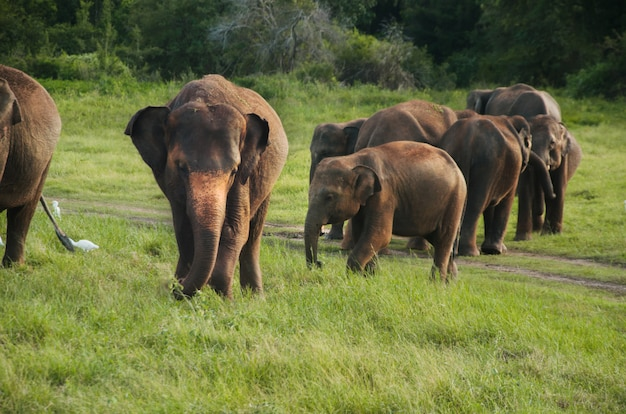 Grupo de elefantes asiáticos en sri lanka