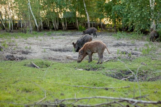 Grupo familiar de cerdos de verruga pastando comiendo comida de hierba juntos.