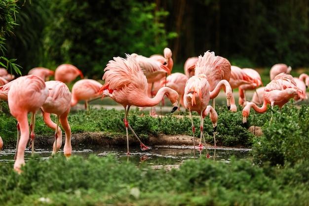 Un grupo de flamencos rosados cazando en el estanque, oasis de verde en el entorno urbano. flamencos en el zoológico