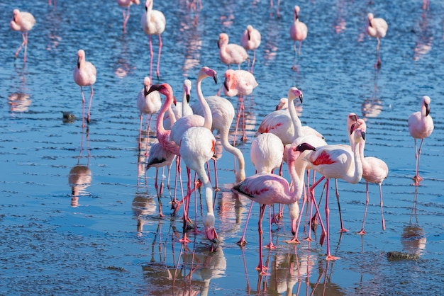 Grupo de flamencos rosados en el mar en walvis bay, la costa atlántica de namibia, áfrica.