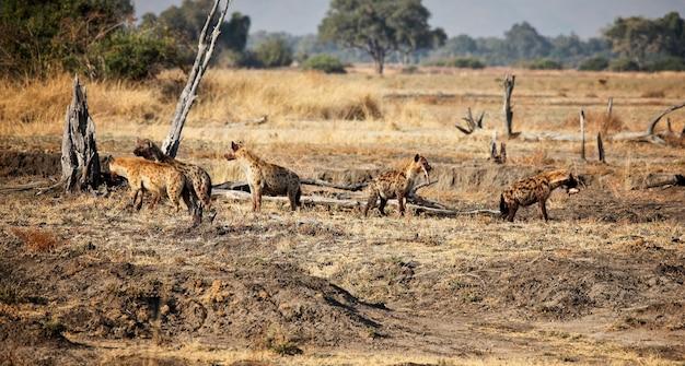Grupo de hiena