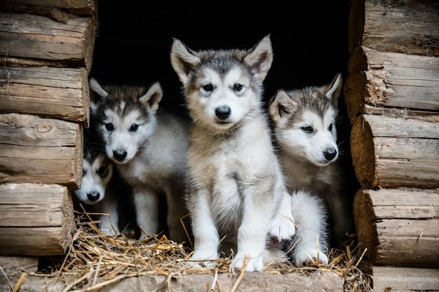 Grupo de lindo cachorro malamute de alaska en jardín de hierba