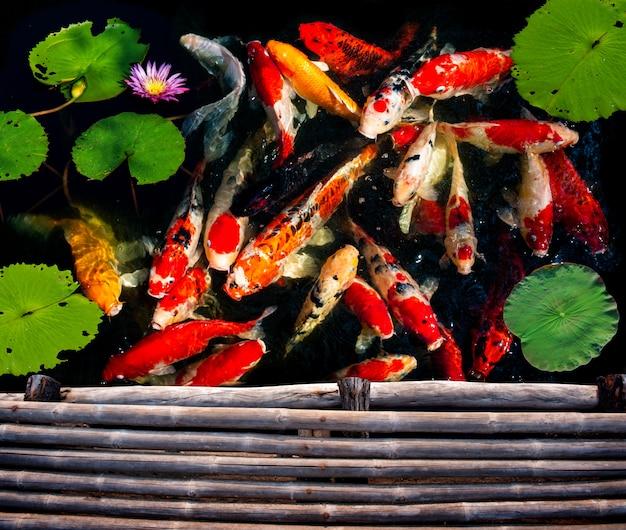 Grupo de peces koi nadando.