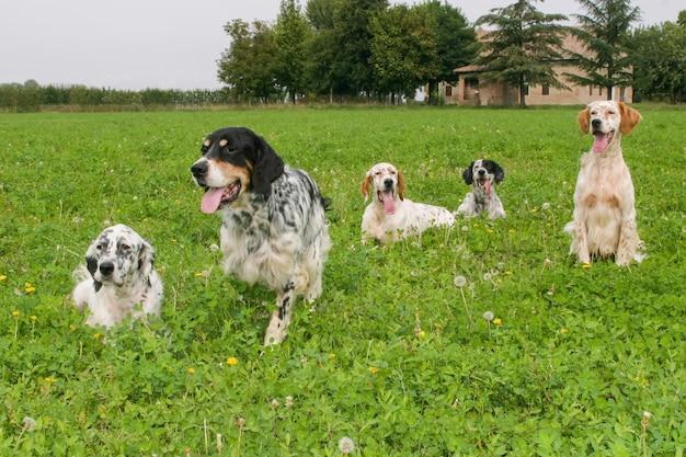 Grupo de perros típicos del setter inglés.