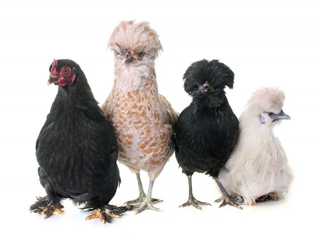 Grupo de pollo