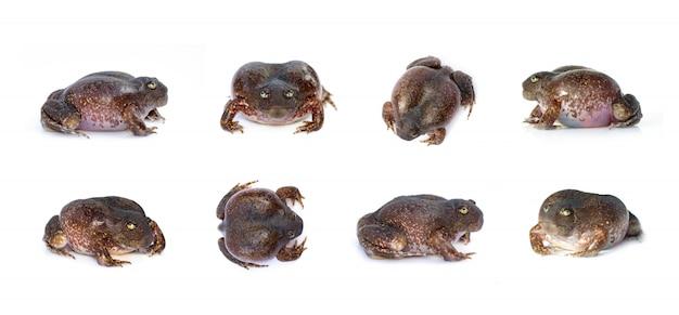 Grupo de rana excavadora de hocico truncado o rana globo (glyphoglossus molossus). anfibio. animal.