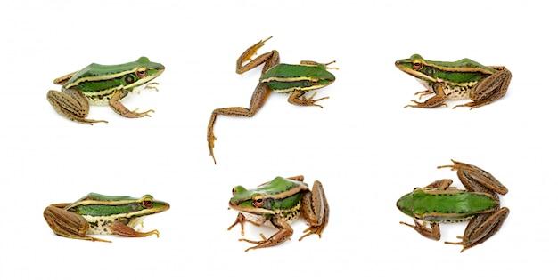 Grupo de la rana verde del campo de arroz o green paddy frog (rana erythraea). anfibio. animal.