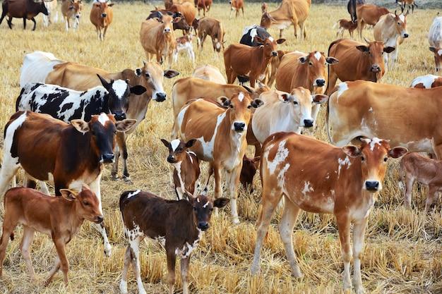 Grupo de rebaño de vacas está alimentando la hierba en un campo seco