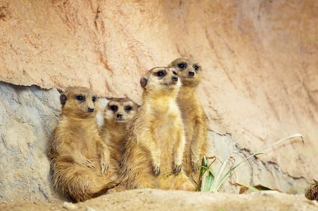 Grupo de suricatas en la naturaleza. fauna animales.
