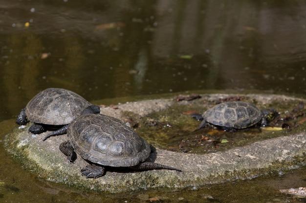 Grupo de tortugas descansa sobre piedra al sol cerca del agua