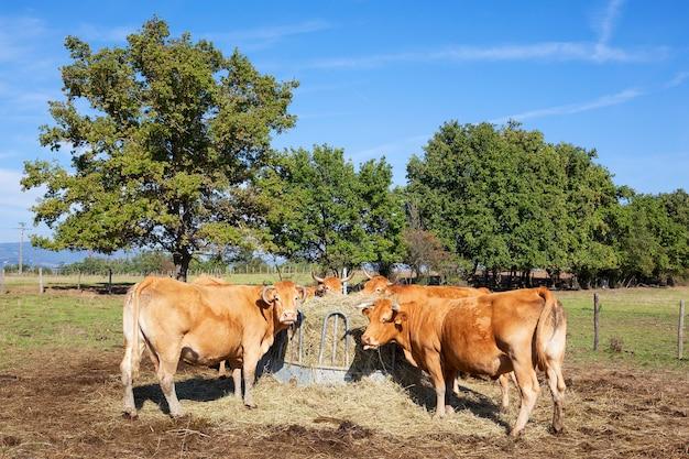 Un grupo de vacas comiendo.