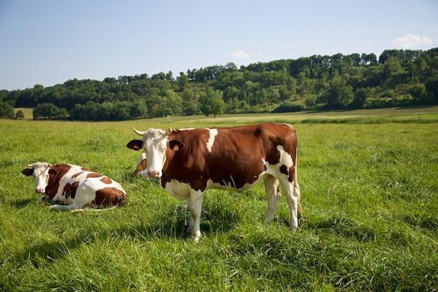 Grupo de vacas pastando