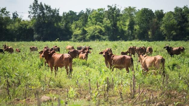 Grupo de vacas de pie y pastan en la pradera local del suburbio de la provincia de kanchanaburi