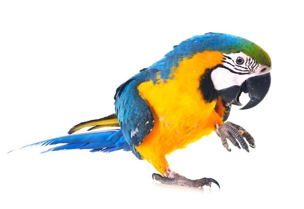 Guacamayo azul y amarillo en estudio