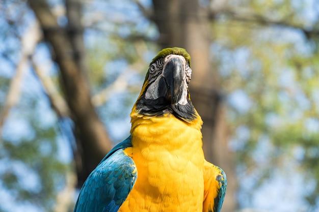 Guacamayo caninde comiendo y volando libremente dentro de un parque. arara caninde es originaria de brasil.