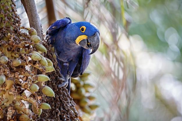 Guacamayo jacinto en una palmera en el hábitat natural