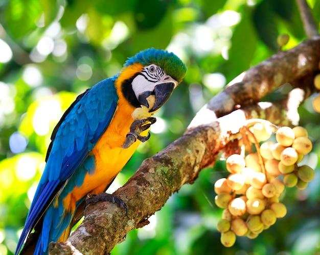 Guacamayo retrato comiendo fruta en el árbol