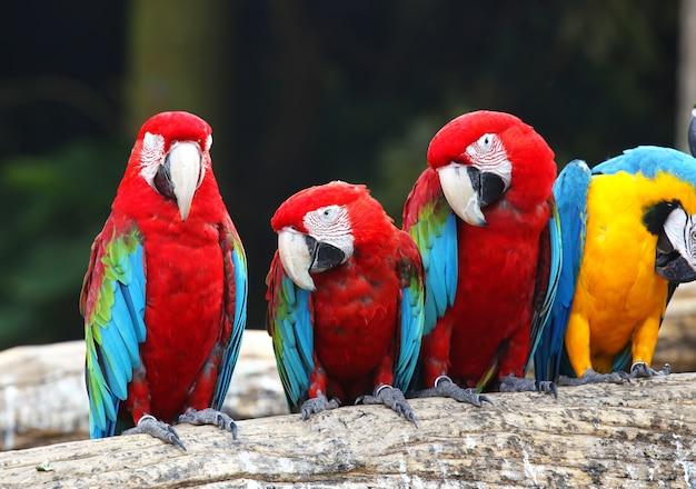 Guacamayo rojo en madera