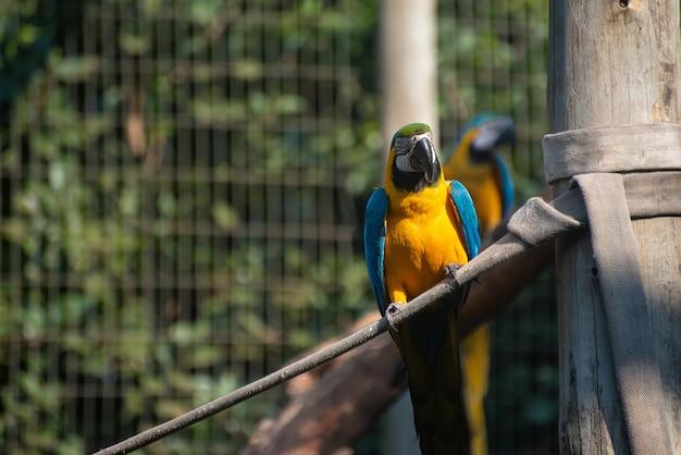 Guacamayos caninde, guacamayos hermosos en un centro de rehabilitación en brasil antes de regresar a la naturaleza. luz natural, enfoque selectivo.