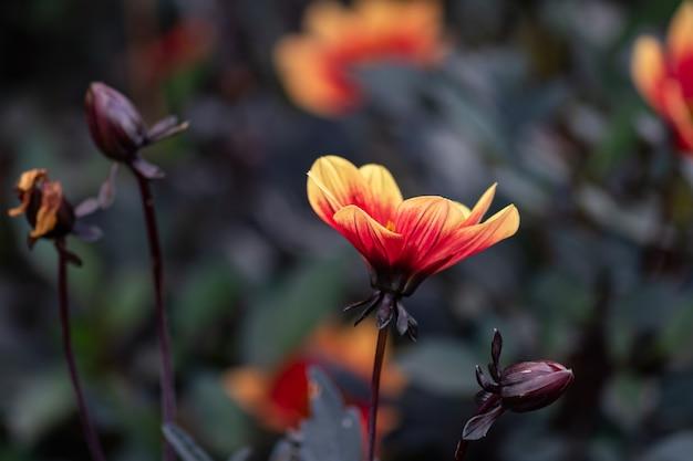Guiño de flores de color naranja floral dalia con hojas oscuras en el jardín.