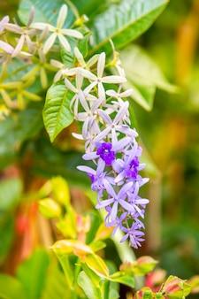Guirnalda púrpura, papel de lija vid que florece en el jardín.
