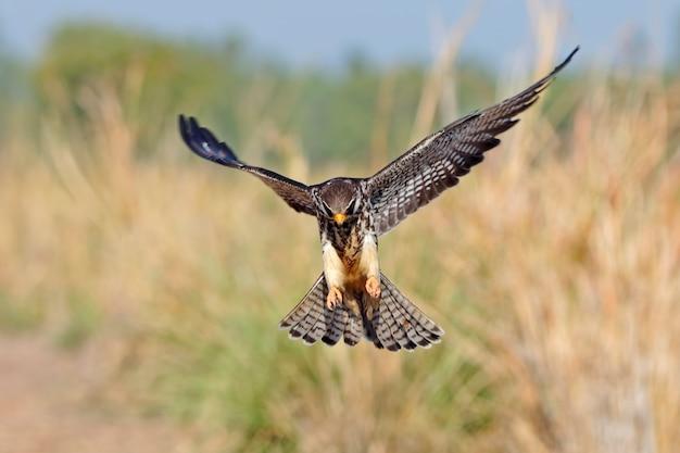 Halcón de amur falco amurensis aves volando en el campo
