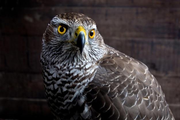 Halcón de cerca. retrato de ave de rapiña. animal salvaje.