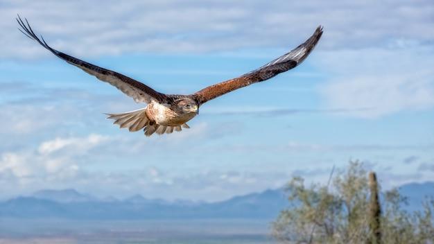 Halcón ferruginoso en vuelo con montañas y cielo