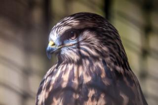 Halcón pájaro halcón