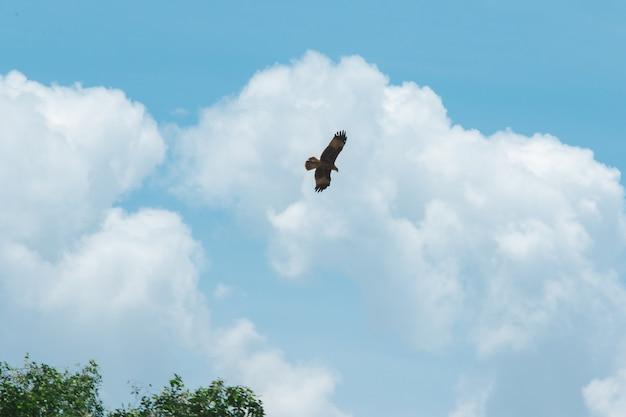 Haliastur indus está volando en busca de presas un ave rapaz de tamaño mediano