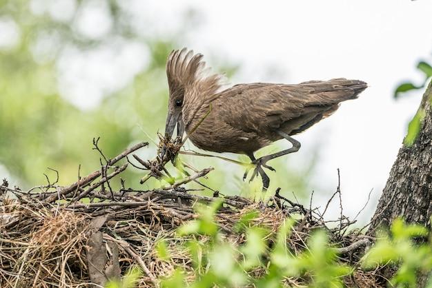 Hamerkop con material de construcción de nidos en el nido, kruger np, south a