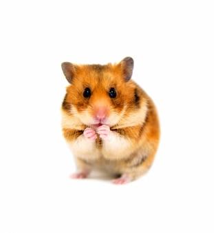 Hamster mira a la cámara y come.