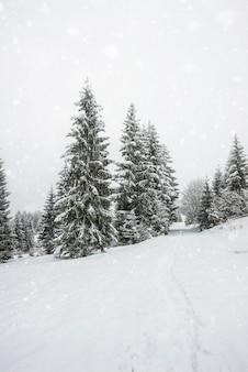 Hechizante panorama de popa de altos abetos cubiertos de nieve crecen en el bosque en invierno día helado