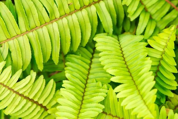 Helecho espina de pescado o nephrolepis cordifolia rama hojas verdes sobre fondo natural.