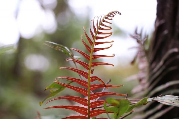 Helecho rojo deja crecimiento en el bosque