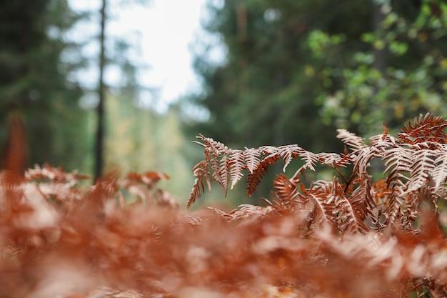 Helecho rojo del otoño en el bosque en el sol de la mañana, fondo del otoño.