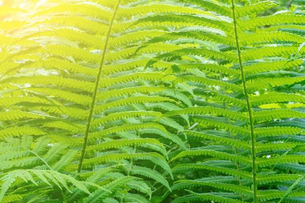 El helecho verde se va en el bosque de la primavera en una mañana soleada