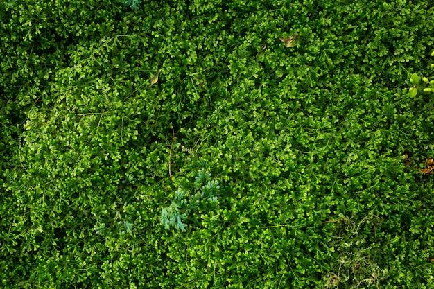 Los helechos verdes de selaginella de los helechos del fondo del musgo del punto crecen en selva tropical.